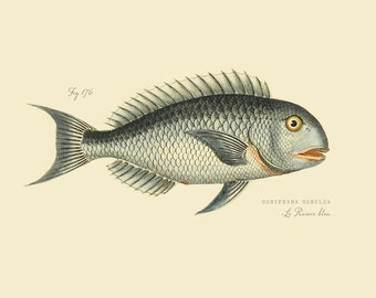 """Vintage Fish """"Le Rasoir bleu"""" Print 8x10 P171"""