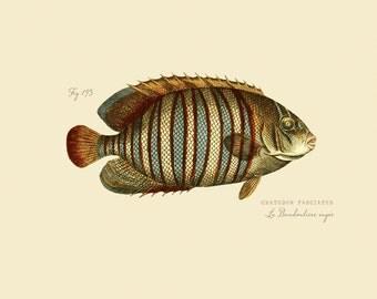 "Vintage Fish ""La Bandouliere rayee"" Print 8x10 P172"