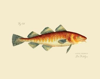 "Vintage Fish ""Der Kabeljau"" Print 8x10 P188"
