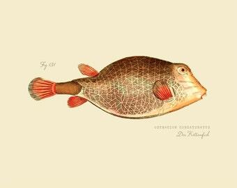 "Vintage Fish ""Der Kettenfish"" Print 8x10 P191"