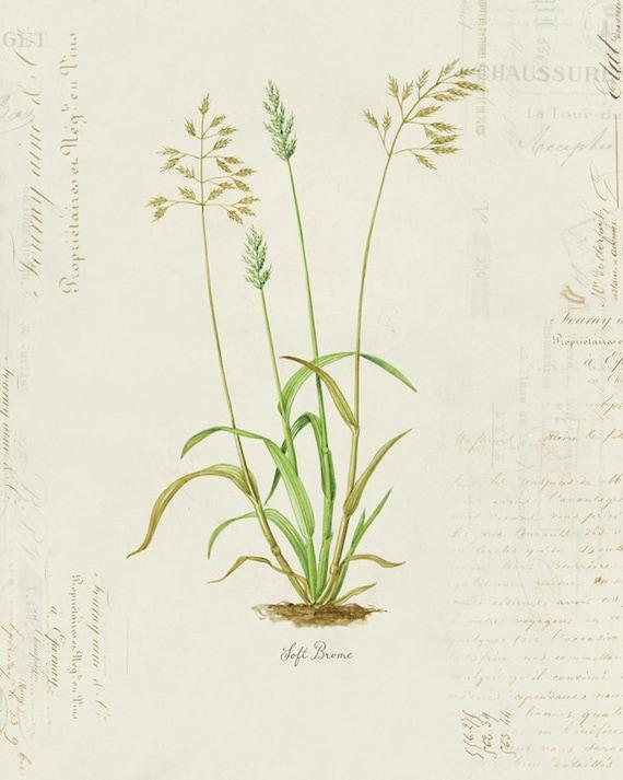 "Vintage Botanical Plant ""Soft Brome"" on French Ephemera Print 8x10 P116"