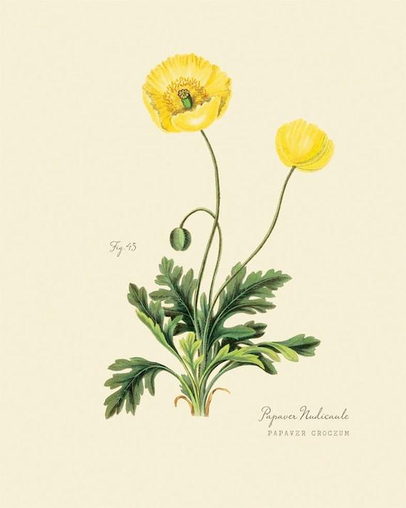 "Vintage Botanical Flower Yellow Poppy ""Papaver Croceum"" Print 8x10 P178"
