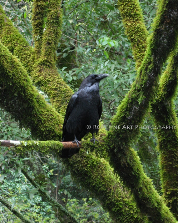 Raven in Muir Woods No. 2 - 8 x 10 Original Fine Art Photograph Print
