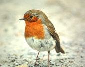 Bird nature photograph 8x6 robin tangerine gray soft rustic nature animal print bokeh rural fine art photograph