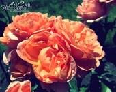 Orange Roses Print 8x 10 Fine Art Color Photograph