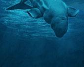 Beluga whale - canvas print