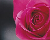 """Photography Print... 8x10 Magenta Rose Close Up """"Pretty In Pink"""""""