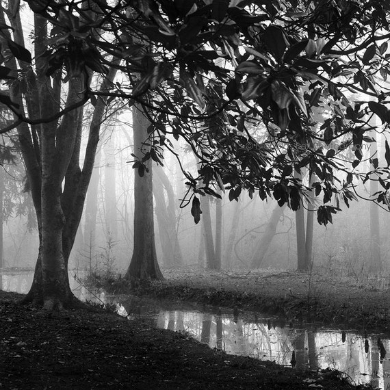 black and white photography, tree photography, trees, forest, woodland, trees in fog, photography, 8 x 8 print