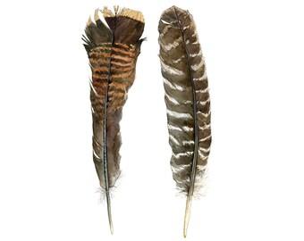 Wild Turkey Feathers, Watercolor Nature Illustration, Art Print