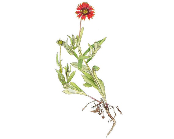 Red Blanket Flower, Watercolor Botanical Illustration, Art Print