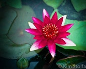 Water lily Number 4