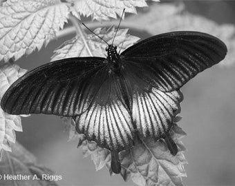 Butterfly, Black and White, pattern, gray, soft, photograph