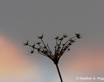 Queen Anne's Lace, Silhouetted Flower, Sunset, pink, steel blue, gray, photograph