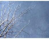 Stark - 5x7 Original Fine Art Photograph - White birch branches against bright blue sky