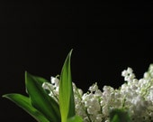 Lily of the Valley - 8 by 10 print