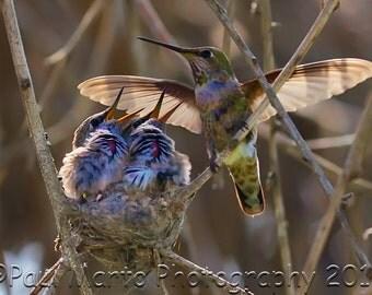 "Hummingbird With Chicks, Photograph, Presented as an 8"" x 12"" Print"