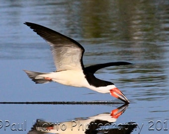 "Black Skimmer in Flight, Photograph, Presented as an 8"" x 12"" Print"