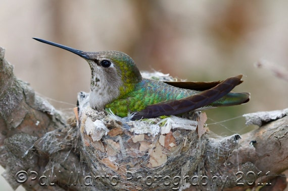 "Anna's Hummingbird on Nest, Photograph, Presented as an 8"" x 12"" Print"