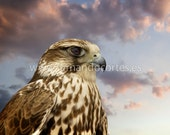 Beautiful Falcon contemplating sunset. The power of nature. 8X12 Fine Art Photograph