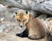 Fox Art, Fox Print, Baby Fox Photography, Woodland Nursery Art, Fox, Animal Photography, Wildlife Photography, Fox Wall Art, Fox Decor