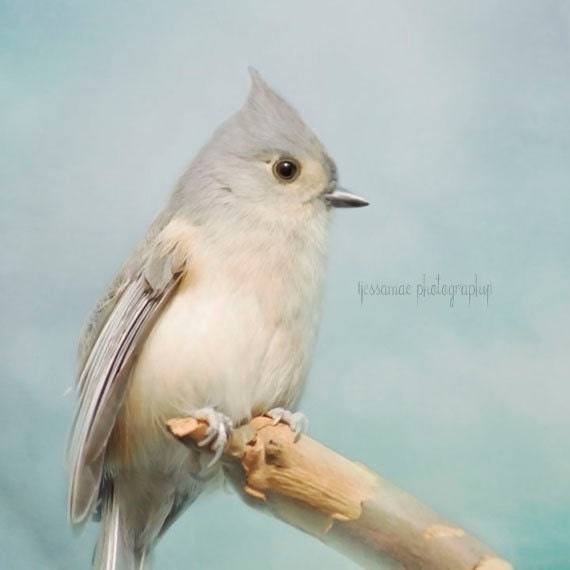 Bird Photography, Titmouse Photography, Bird Print, Tufted Titmouse Art, Blue Wall Art, Bird Decor, Nature Photography, Shabby Chic Print