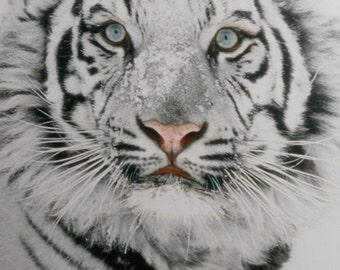 Snow Tiger, White Tiger Photograph Print, Hand Signed Framed & Double Matted, 12x16 Treasury Item