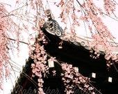 Sakura Blossoms 8x10 Print