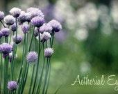 Tasty Splendour - Single Digital Download - chives, allium, purple, mauve, green, garden royalty free image