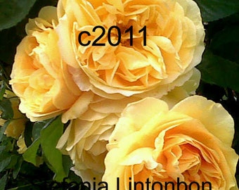 Yellow Summer Roses - Digital JPEG File Emailed to you