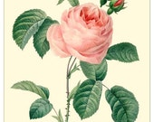Redoute Rose Botanical print reproduction