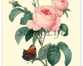 Redoute Rose Antique Botanical print reproduction