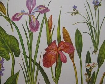 """Slender Beauties, Pair of North American Large 9"""" by 12"""" Wildflower Prints,  deep rose orange pink purple detailed graphics"""
