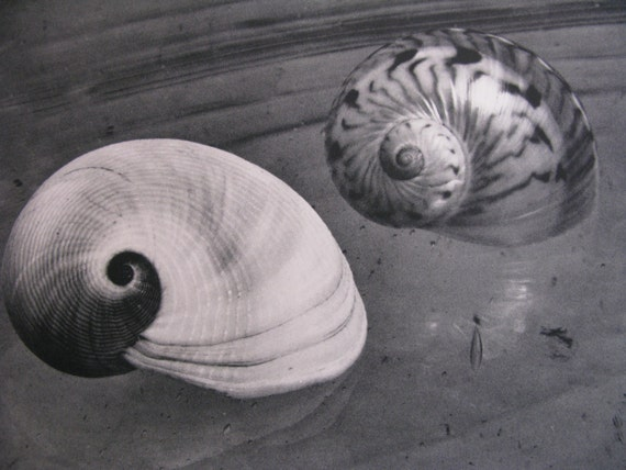Sale HUGE vintage  Black & White  seashell photographic bookplate, detailed and timeless, More in shop