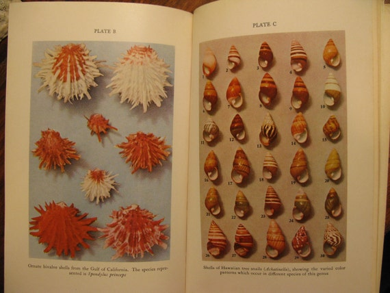MOLLUSKS, 1968, 37 full page plates, blk white & color, 68 illustrations total, many sketches, cabinet of curiosities types