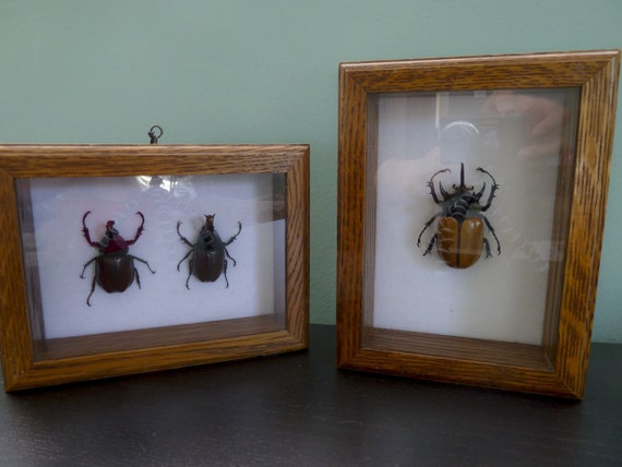 Specimen Set of two shadowboxes of exotic beetles