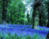 Bluebell Wood (8 x 8) Fine Art Photography print