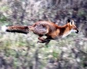 Fox Dash  Fine Art Photography Download