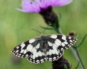 Marble white Butterfly Fine Art Photography Download