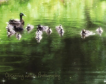 Mallards on a rainy day ( 10x8 ) Fine Art Photography print