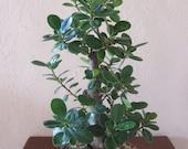 Live Mature Ficus Green Island Bonsai Tree / price reduced