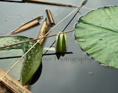 """Floating World Number Two - serene nature photograph  5"""" x 7"""" fine art, lotus pond - in stock"""