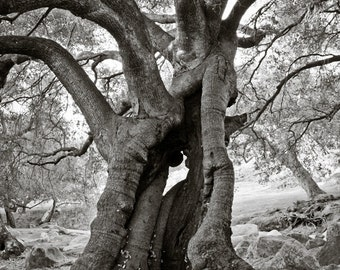 Old Oak Tree, Black and White Tree, Oak, Tree Photography