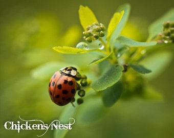 Spring Time Lady Bug Fine Art Photograph, Macro Photography, Macro Ladybug, Insect Photography