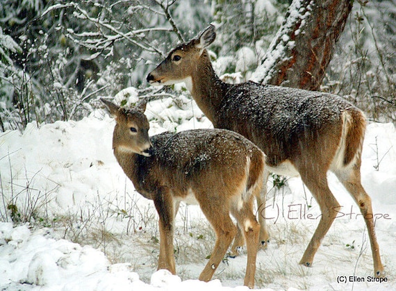 PRINT Whitetail Deer, Fawn, Snow Storm, Winter, Forest, Beautiful