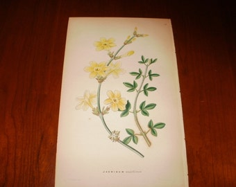 Antique Hand Coloured Print - 1854 - Jasminum - from The Ornamental Flower Garden...Sale...20% off