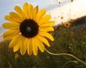 Wahoo Sunflower 8 X 10