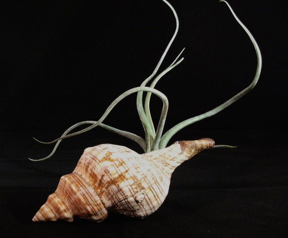 Sale- Tillandsia pseudobaileyi with striped fox conch shell- Air plant with shell