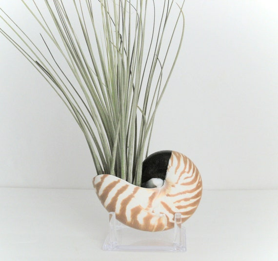 Nautilus Shell with Tillandisa juncea on Stand