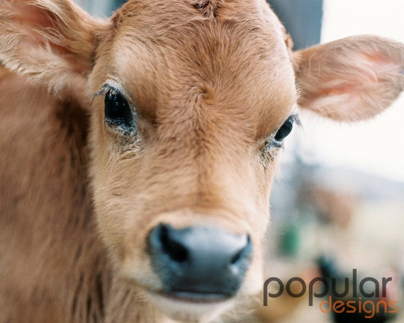 8x10 Photograph Baby Calf Cow Farm theme