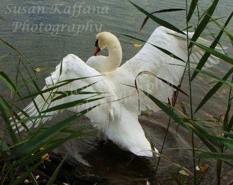 Beauty in the Grass ... Original Fine Art..Swan Photography.Bird Photography.Wildlife Photography.Landscape Photography.Original Photography